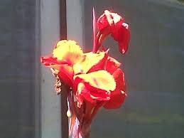 Cana Lilly 32 Best Cana Lillies Images On Pinterest Canna Lily Flower
