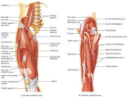 Anatomy Of Body Muscles Dermatomes And Myotomes Of Lower Limb Medcaretips Com