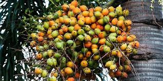 khasiat buah pinang untuk meningkatkan keperkasaan pria deherba com