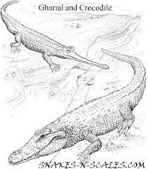 gharial and crocodile coloring page snakes n scales snakes n