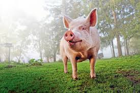 esther the pig mini pig grew to 650 pounds reader u0027s digest