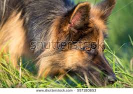 German Shepherd Christmas Yard Decorations by Long Haired German Shepherd Stock Images Royalty Free Images