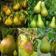 deal pear tree multi variety fruit tree pear 5 varieties on