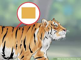 how to identify a siberian tiger 10 steps with pictures