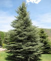 spruce colorado blue