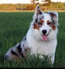 australian shepherd 60 minutes robot vs man can you tell the difference the washington post