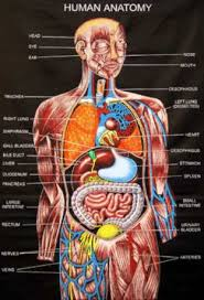 Anatomy Of Human Body Organs Human Anatomy Human Anatomy Pictures The Examples Of This Human