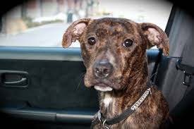 american pitbull terrier breeders st louis the mutts blog mutts n stuff is a st louis based rescue group