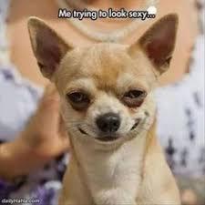 Meme Chihuahua - 10 funny chihuahua memes dog memes pinterest memes dog and