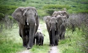 how re homing a violent elephant herd was the start of a unique