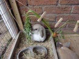 feeding your rabbit u2013 everything you need to know u2013 carly u0027s mini