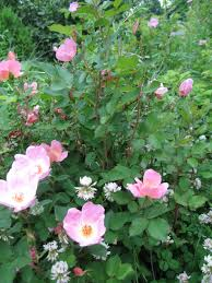 kentucky native plants native to kentucky rosa blanda called meadow rose attracts