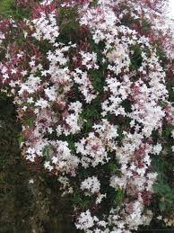 jasminum polyanthum star jasmine smells great esp at night