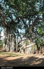 Bermuda Botanical Gardens Japanese Zen Garden With Wooden Bridge In The Botanical Gardens In