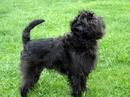 affenpinscher long hair affenpinscher dog breed gallery
