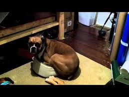 boxer dog youtube 372 best boxers images on pinterest boxer love animals and