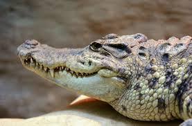 alligator animal big carnivore crocodile danger dangerous