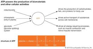 Light Independent Reactions Definition Physiology Definition U0026 Bodily Function Britannica Com