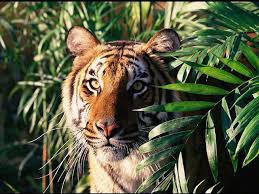 jungle tigre giungla tiger jungle 1024x768 jpg jungle