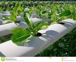 indoor hydroponic vegetable gardening photo album garden and kitchen