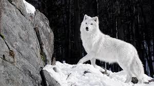 white wolf 4k hd desktop wallpaper for 4k ultra hd tv wide