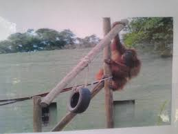 bentley orangutan opal the orangutan is here to stay says boswell daily news