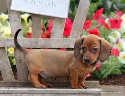 puppies indiana miniature dachshund puppies indiana photo