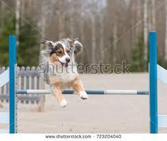 australian shepherd jumping juha saastamoinen u0027s portfolio on shutterstock