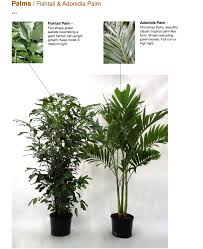 Cateracterum Palm by Palms Capri Farms A Source Of Fine Tropical Foliage Tropical