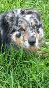 australian shepherd 1 jahr kaufen australian shepherd anzeigen 16 hunde in der vermittlung
