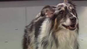 rescue a australian shepherd pet parade just a touch rescue in rhode island cbs boston