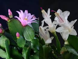schlumbergera hybrids cactus