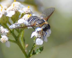 Flies In Backyard Mother Nature U0027s Backyard A Water Wise Garden Bee Flies U2013 The