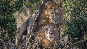 Lion Sex Meme - kenya crazy gay lions should be isolated for research ezekial