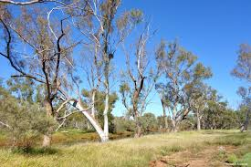 native australian desert plants desert trees natural history of ecological restoration