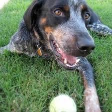bluetick coonhound breeders indiana 156 best sally roonie images on pinterest bluetick coonhound