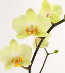 yellow orchid diy orchid inspiration yellow orchid orchid and flowers