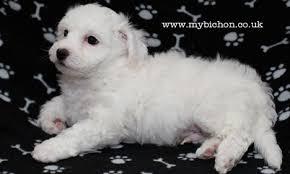 1 week old bichon frise my bichon pictures of a bichon puppy otis