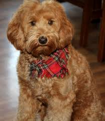 labradoodle hairstyles labradoodle grooming and how to communicate with your groomer