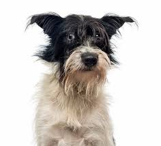 affenpinscher havanese mix mutt dog breed information pictures characteristics u0026 facts