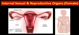 Female Sexual Anatomy Pictures Picture Of Male And Female Reproductive System Human Anatomy Library