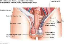 Male Internal Organs Anatomy Male Reproductive System Front Male Reproductive Organs Front View