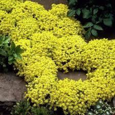 borsos varjúháj sziklakerti évelő sedum acre aureum virágok