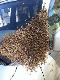 veteran owned live honey bee removal wildlife abatement llc