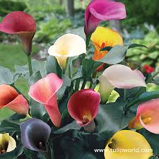 cala lillies tulip world mixed hybrid calla pack 23123