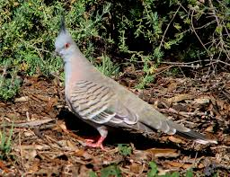 How To Get Rid Of Pigeons Off My Roof by Crested Pigeons As Pet Birds Trevor U0027s Birding