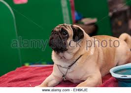boxer dog crufts 2015 crufts 2015 stock photos u0026 crufts 2015 stock images alamy