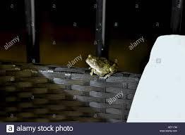 porch at night common tree frog stock photos u0026 common tree frog stock images alamy