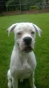 1 year old boxer dog 1 year old boxer for sale due to babies allergies glasgow