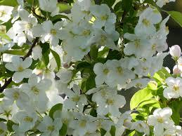 the best crabapple trees for your garden botanic garden